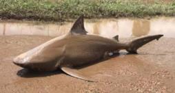 Lo squalo trovato in mezzo alla strada in Australia