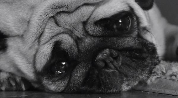 Cane triste che risente gli effetti del Blue Monday