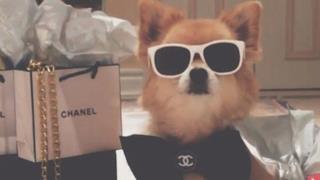 I cani ricchi di Instagram ostentano la loro opulenza. Guarda la gallery