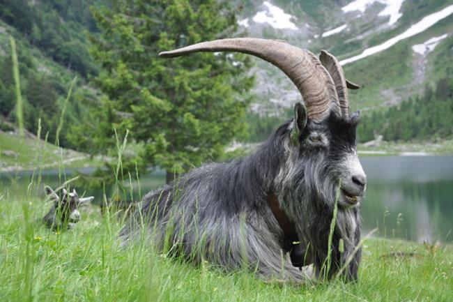 Becco - maschio della capra