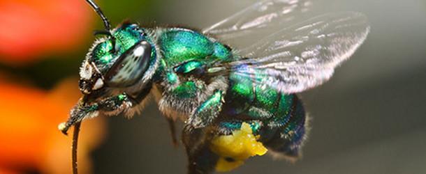 L'Euglossa Bazinga, la nuova specie di ape