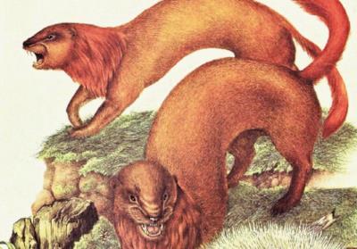 La volpe donnola