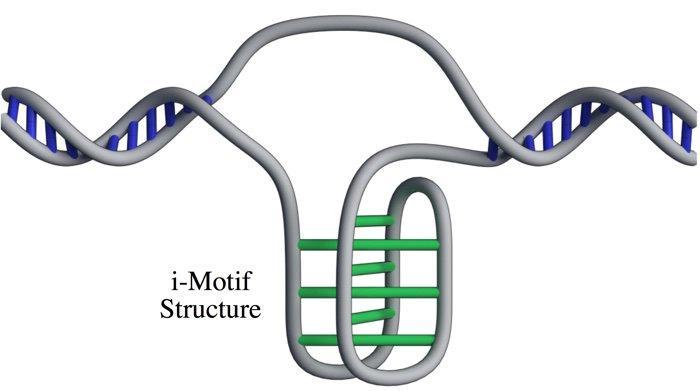 La forma i–motif