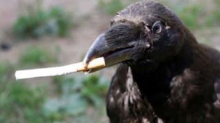 Un corvo che porta una sigaretta