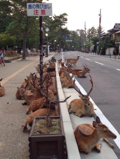 Una strada giapponese conquistata dai cervi.