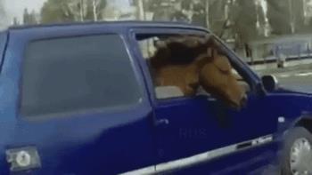 Un cavallo viaggia in auto al posto del passeggero - Le GIF più divertenti da scaricare e condividere
