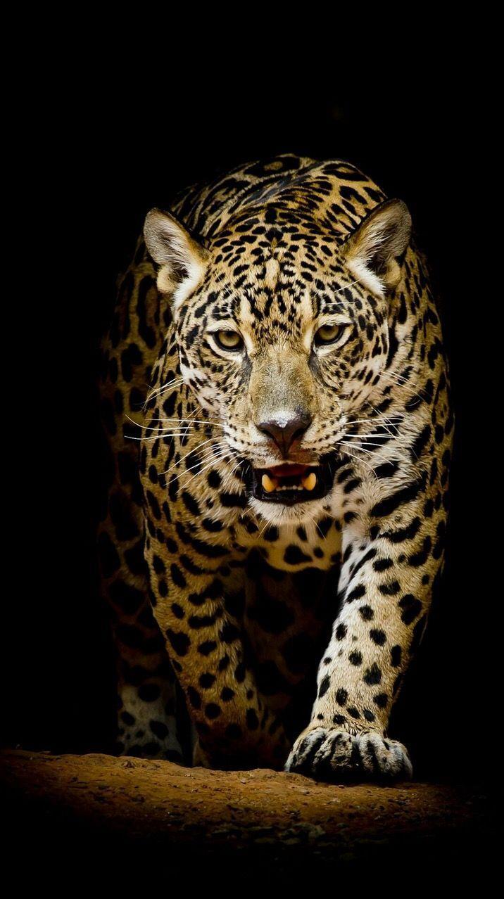 Un maestoso giaguaro - Sfondi per PC, iPhone, Android e profilo WhatsApp da scaricare