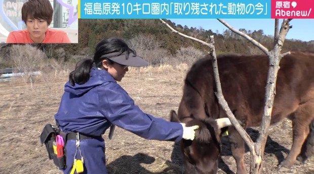 Un'immagine della donna che sfama le mucche di Fukushima