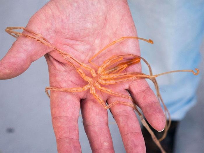 un esemplare di Il ragno di mare
