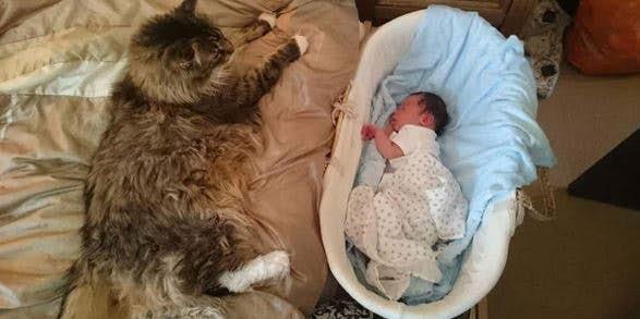 Il gatto più grosso del mondo