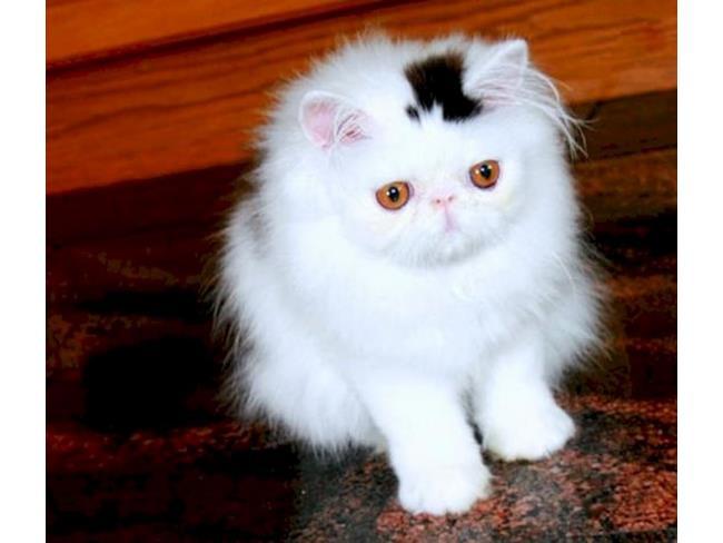 Un gatto col cilindro