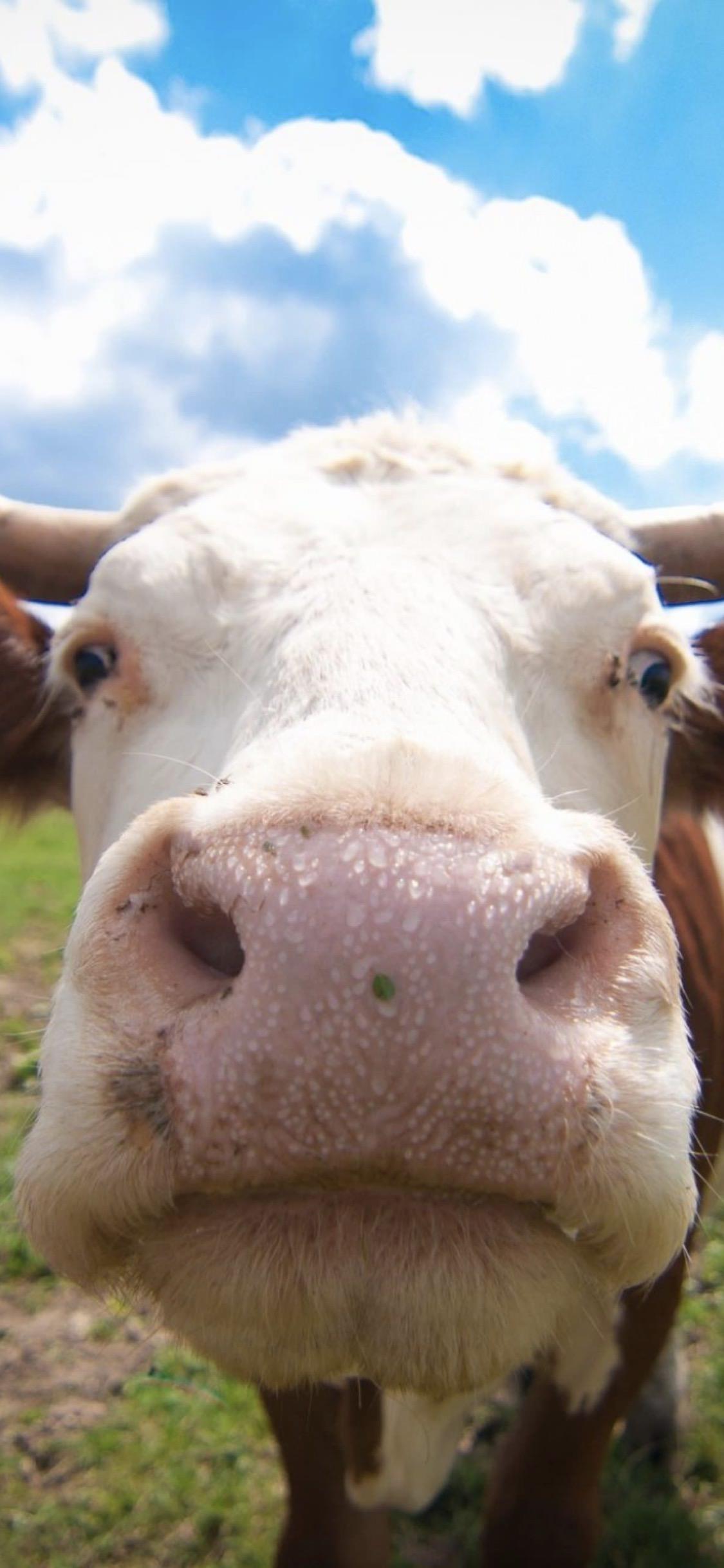 Una simpatica mucca - Sfondi per iPhone, i migliori da scaricare gratis