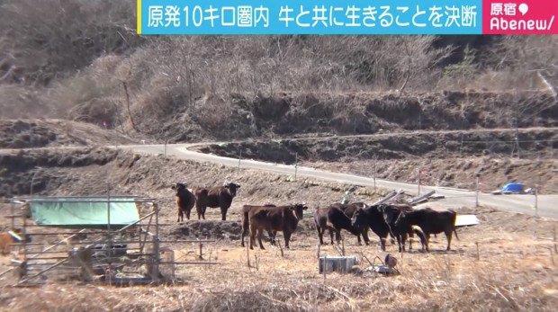 Ecco le mucche abbandonate a Fukushima