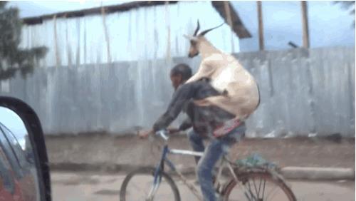Un ragazzo porta una capra in bicicletta - Le GIF più divertenti da scaricare e condividere su Facebook e WhatsApp