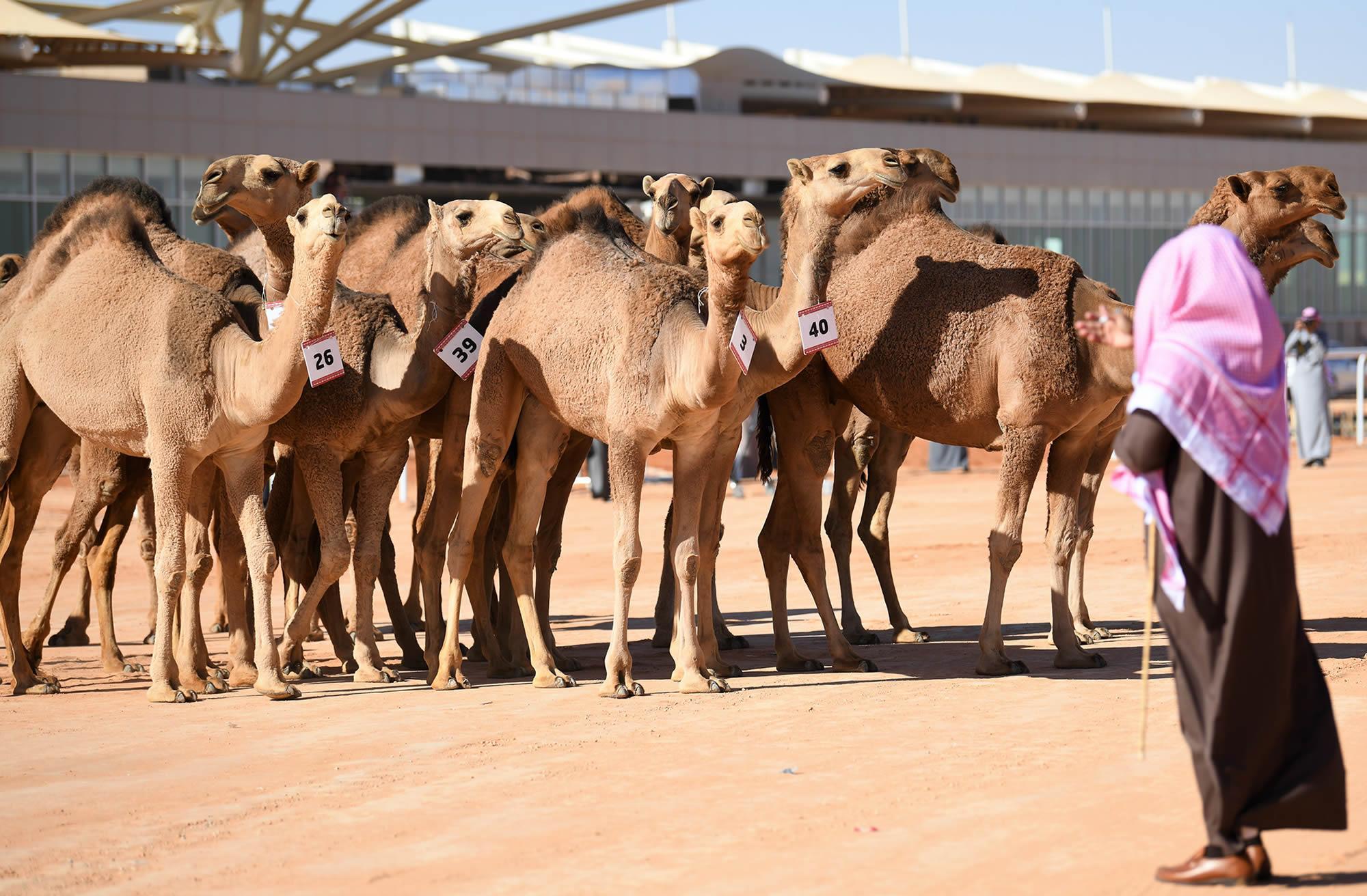 Dei cammelli che partecipano alla gara