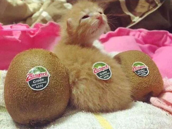 Un gatto e un kiwi