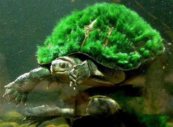 La tartaruga del fiume Mary a rischio estinzione