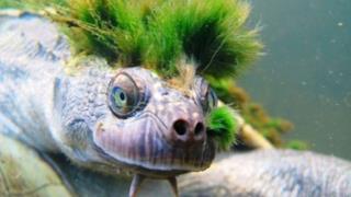 La famosa tartaruga del fiume Mary