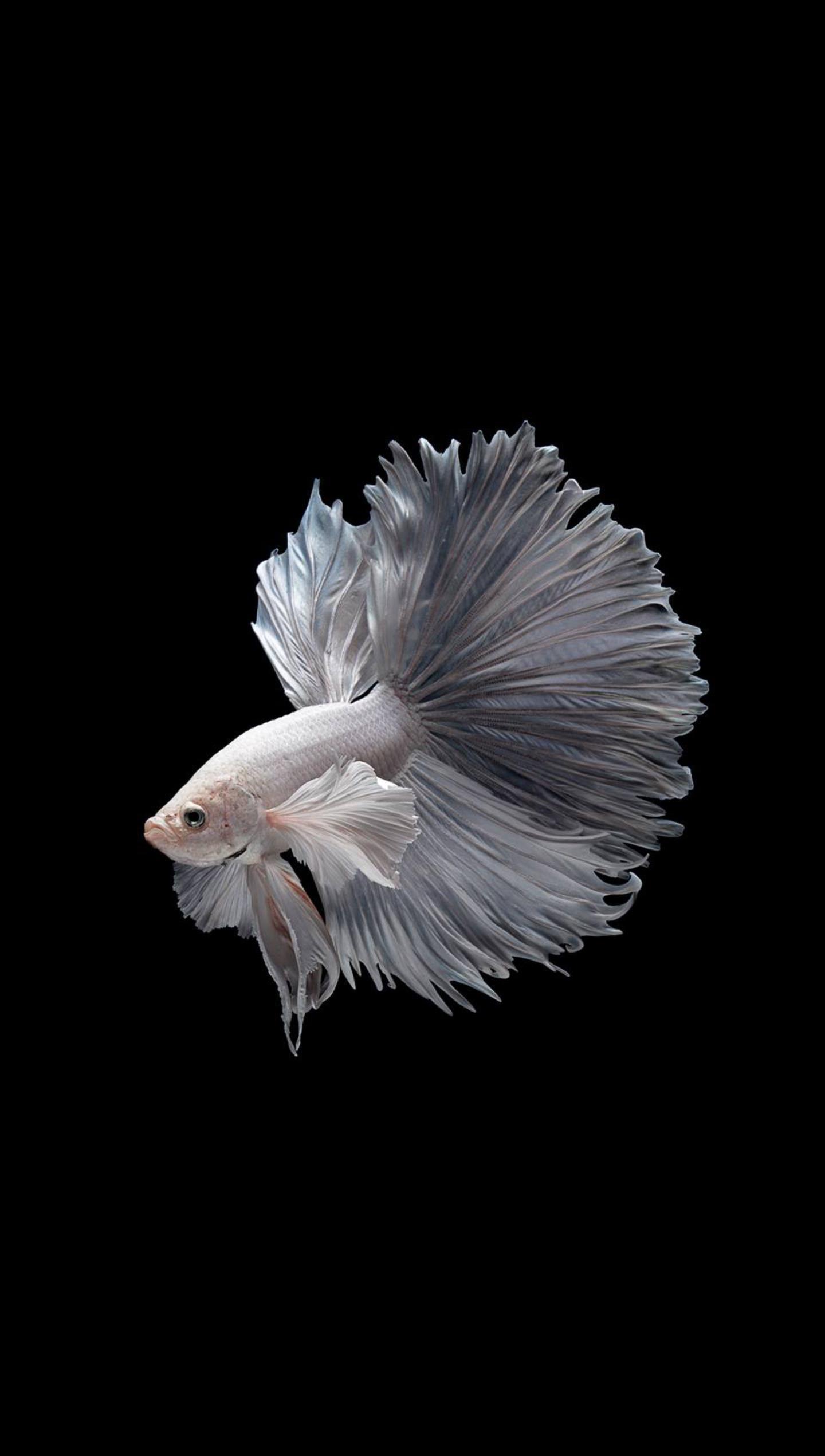 Un pesce combattente - Sfondi per Android, i più belli da scaricare gratis