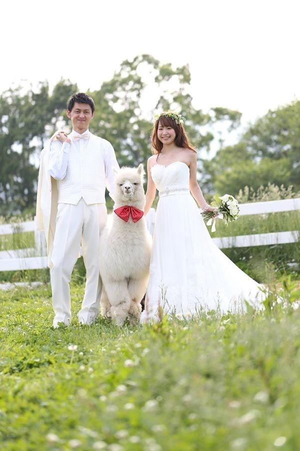 Una coppia di sposini giapponesi con il loro alpaca-testimone
