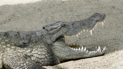 Un coccodrillo a fauci aperte