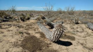Il cactus strisciante colonizza il deserto