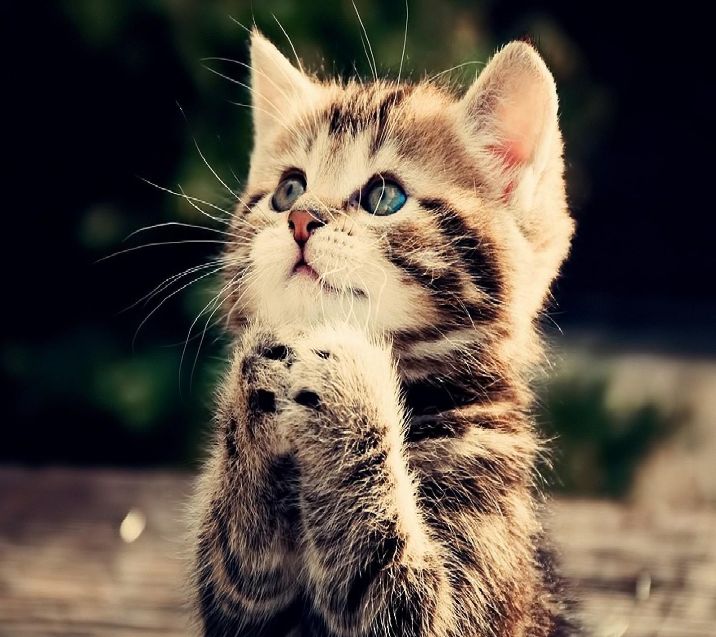 Un gattino che sembra pregare - Sfondi per Android, i più belli da scaricare gratis