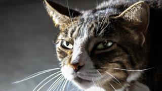 Gatto con espressione arrabbiata