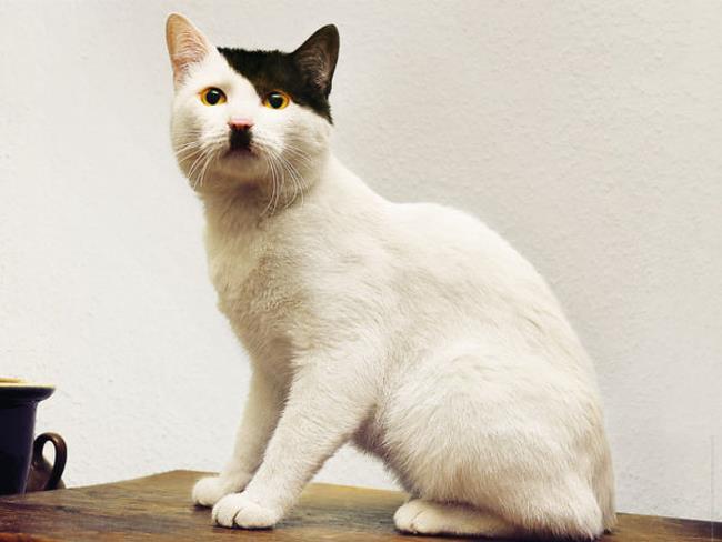 Un gatto col baffo alla Hitler