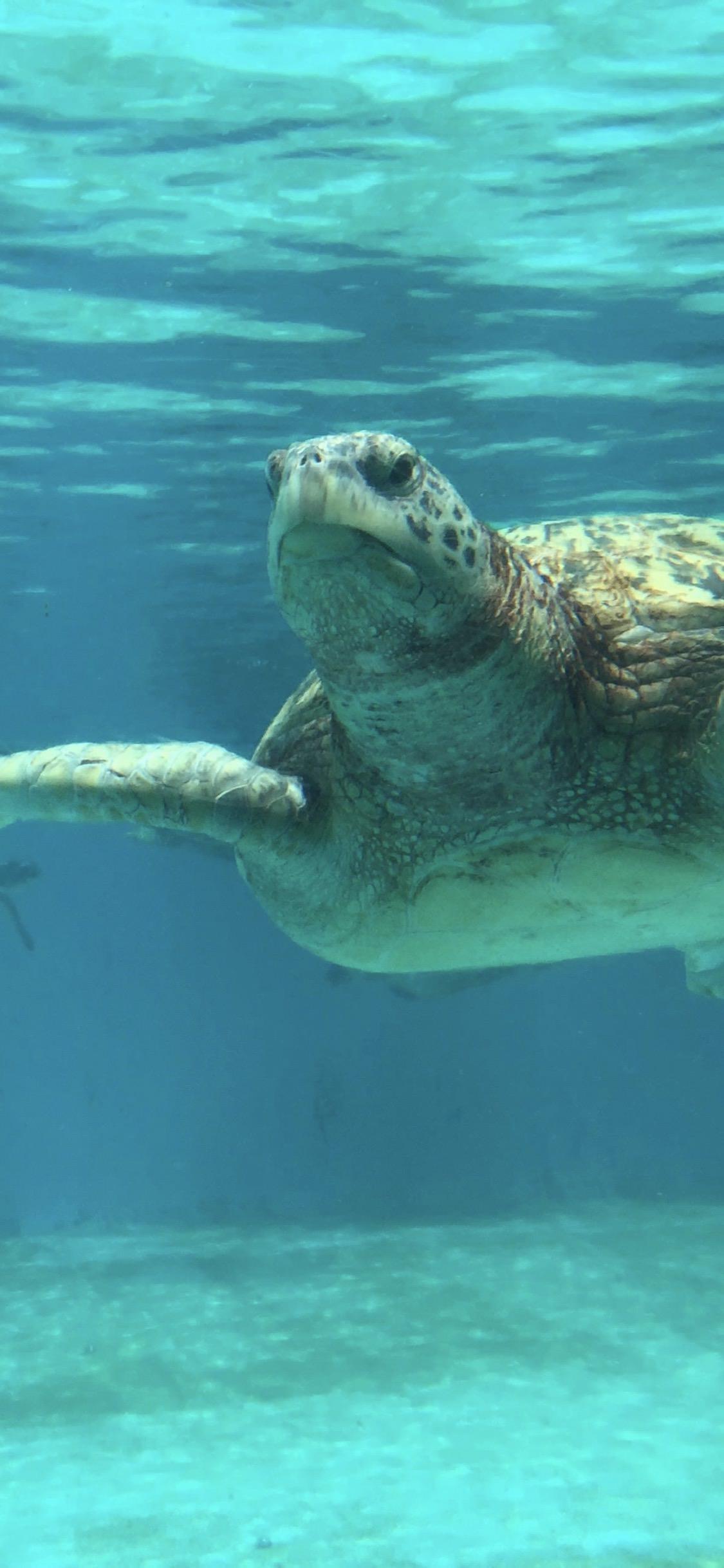 Una simpatica tartaruga marina - Sfondi per iPhone, i migliori da scaricare gratis