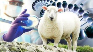 Uno scienziato fa esperimenti sugli ibridi uomo-pecora