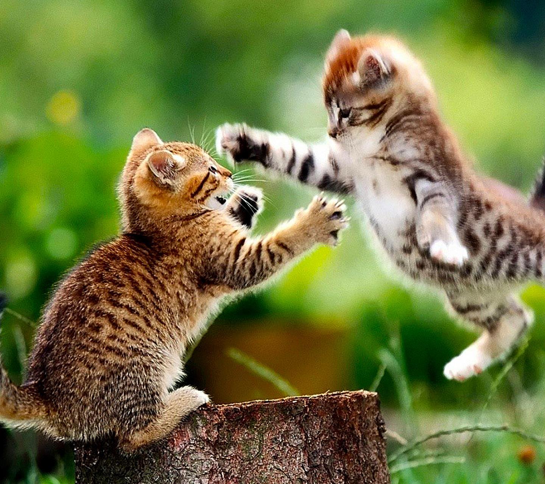 Due cuccioli di gatto che litigano - Sfondi per Android, i più belli da scaricare gratis