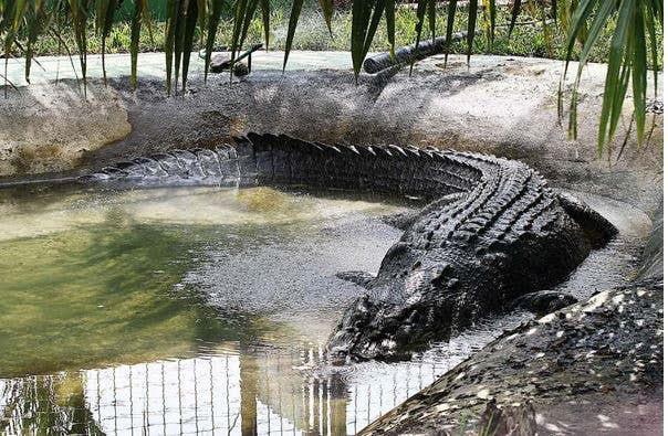 Il coccodrillo più grosso del mondo