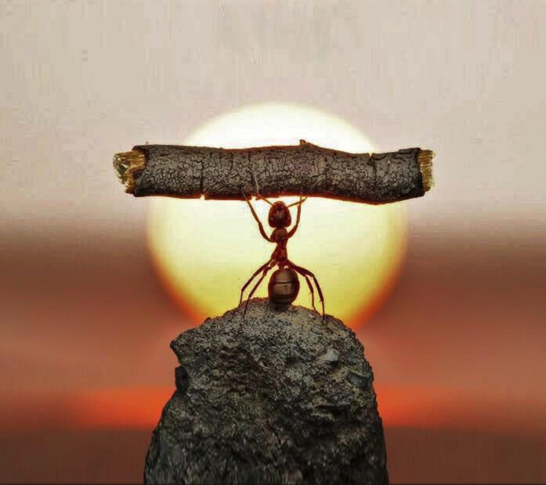 Una formica che solleva un bastoncino - Sfondi per Android, i più belli da scaricare gratis