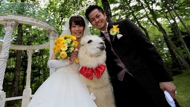 L'alpaca testimone di nozze con due neo-sposini