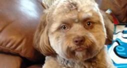 Primo piano di Yogi, il cane con la faccia umana