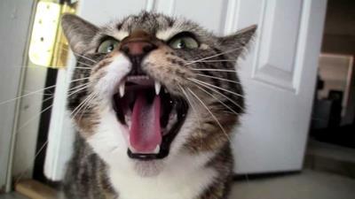 Un gatto furioso