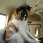 Un altro cane in aereo, un po' meno entusiasta del volo!