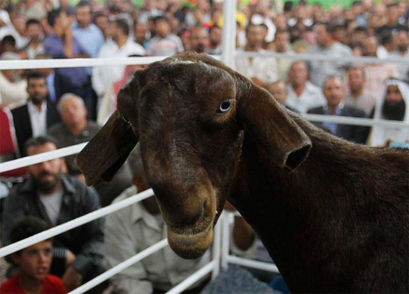 Una capra damascenas