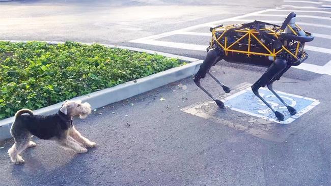 Il cane robot di Google e un cane vero