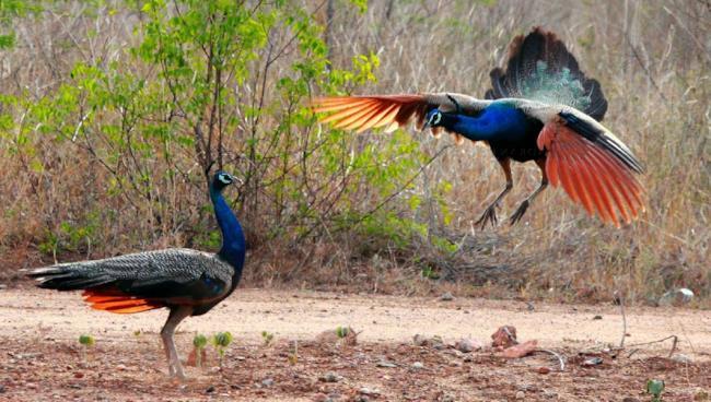 Due pavoni lottano tra di loro