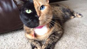 Venus la gatta