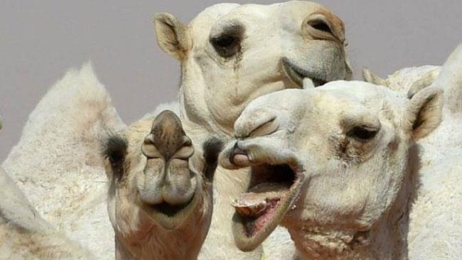 Alcuni cammelli allegri