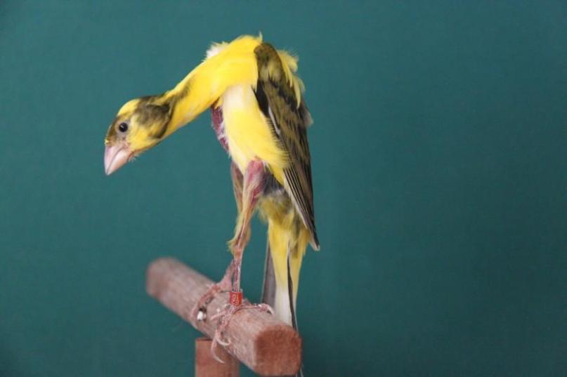 Il canarino Gibber Italicus