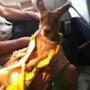 Un piccolo cucciolo di canguro in aereo.