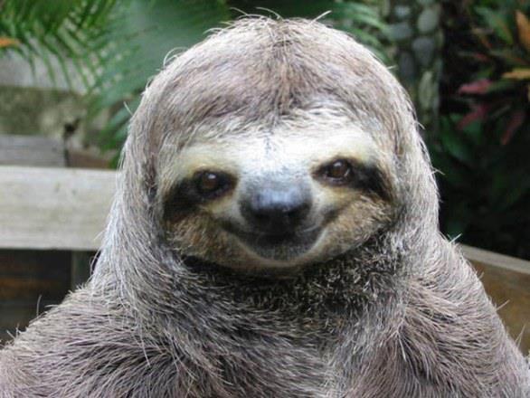 Primo piano di un bradipo che ride