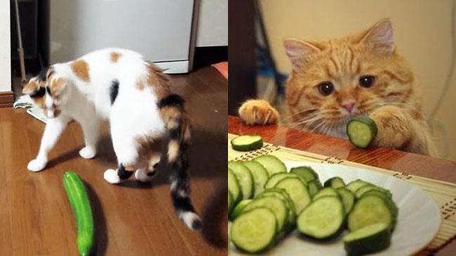 I gatti hanno un rapporto ambiguo coi cetrioli