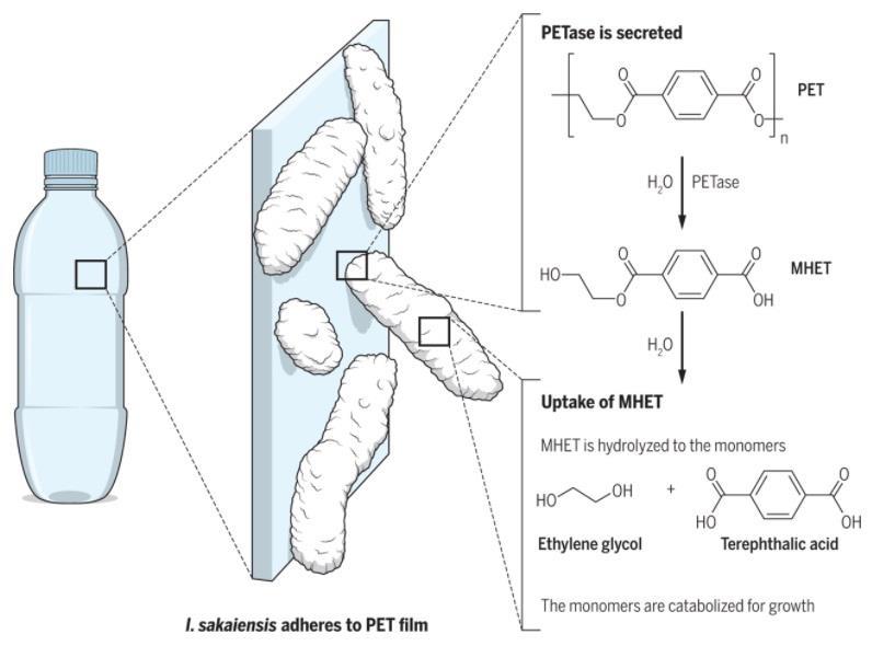 Il processo di digestione attuato dall'enzima naturale