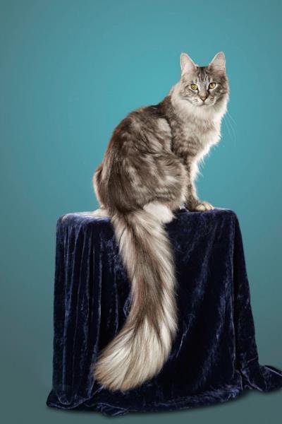 Il gatto con la coda più lunga del mondo