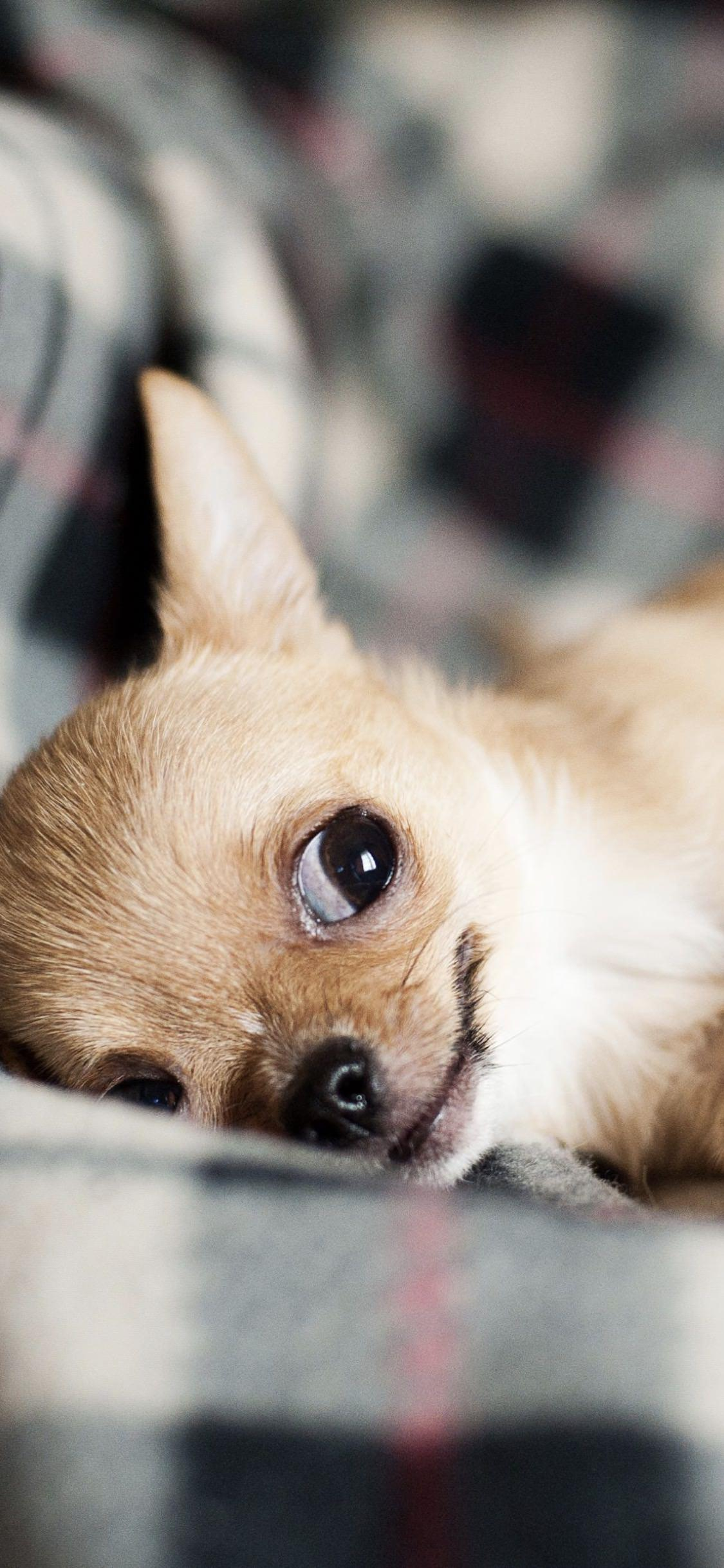 Un cagnolino che riposa - Sfondi per iPhone, i migliori da scaricare gratis